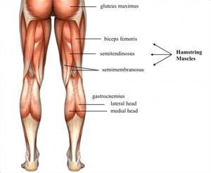 2. Hamstring Muscles
